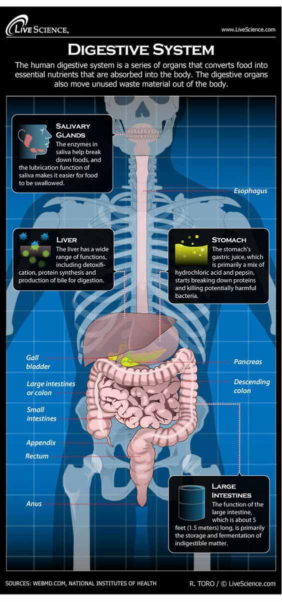 Digestive System Info graphic Scottsdale AZ