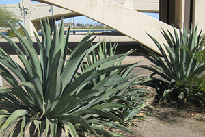 Tempe Agave Plants