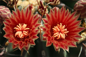 West Phoenix Red Cactus Flower